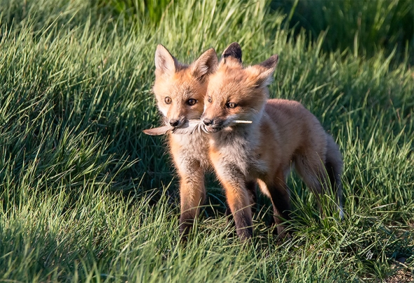 Red Fox Cubs at Spring Creek