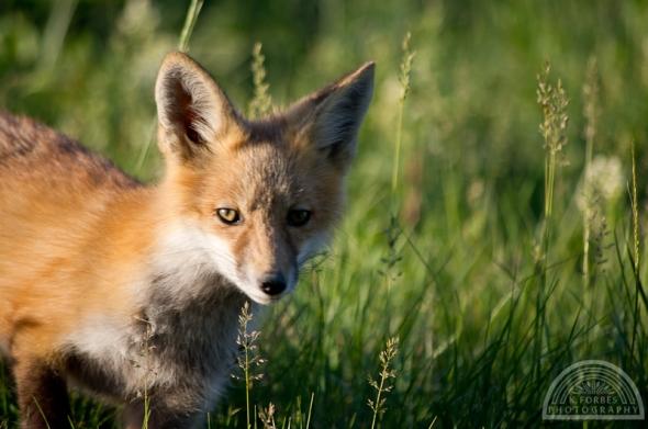 Fox: ISO 400, 1/500sec, 260mm (55-300mm)