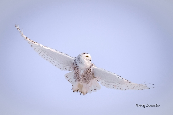 Owl in Flight Nikon D610, Tamron 150-600mm, f/8.0, ISO 180, 1/800 s