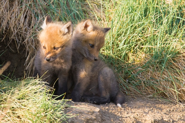 Young Foxes Nikon D610, Tamron 150-600mm, f/8, ISO 2000, 1/1600s.