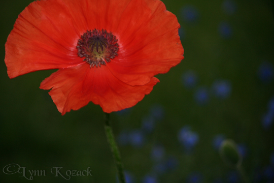 California Poppy - Canon EOS Rebel XT, f/5, 1/60 sec, ISO-400, 96mm, AWB