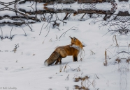 winter fox-2-3